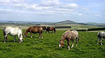 Mares grazing on the moor at Stonedge
